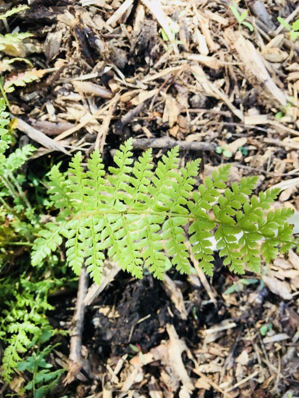 Polystichum setiferum feuille